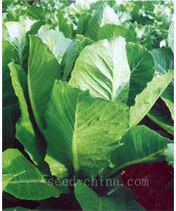 罗马生菜 Rom-北京阿特拉斯种业有限公司 种子网 天鸿种子网企业网店